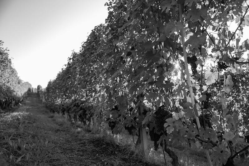 passeggiata nelle vigne di vincenzo_andreacchio