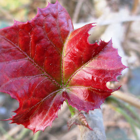 ID: Magic of Spring Season by Shibalik Choudhury - Nature Up Close Other plants ( amazing, adventure, macro, red, nature, jungle, day_light, always_beautiful, glowing, leaf, small )