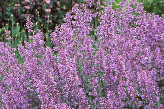 Photo: Catmint