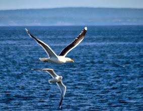 Photo: Бой морской и серебристых чаек. Большой Седлованый.