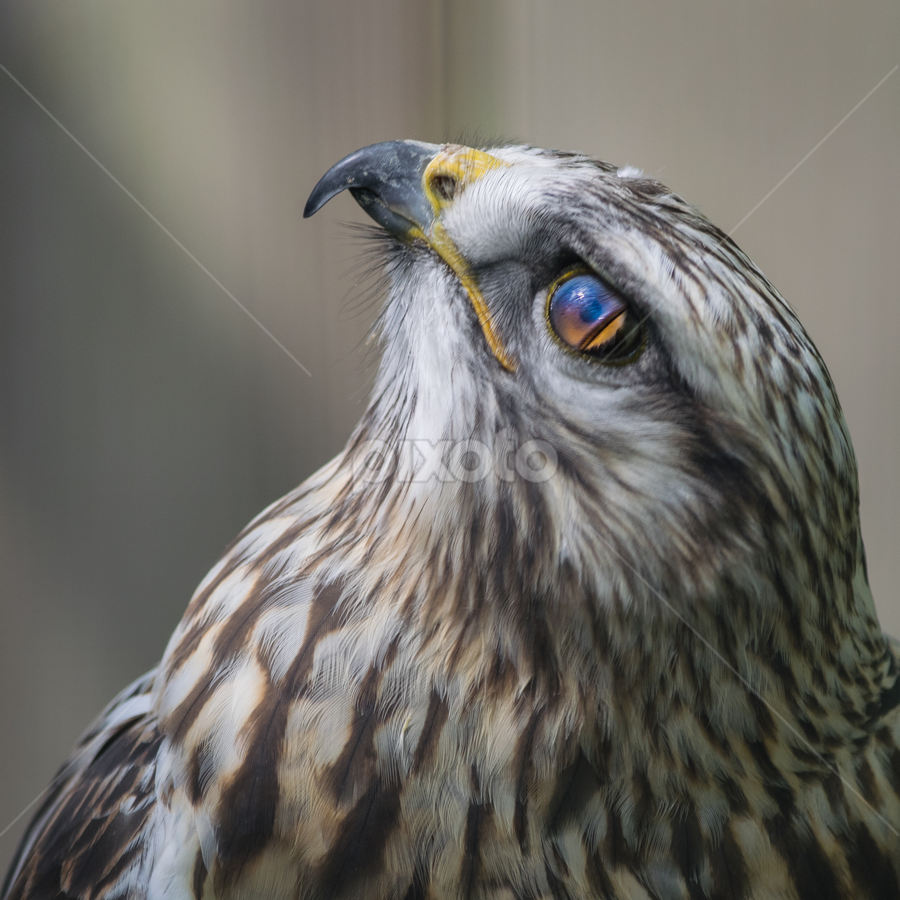 nictitating membrane by Walt Mlynko - Animals Birds ( montreal, meetup, canada, zoological, object, where, nictitating membrane, clubs, hawk, bird, ecomuseum, quebec, north america, nature, zoo, what, named places, activity )