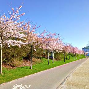 【世界で楽しめるニッポン】現地在住者が勧めるデンマーク・コペンハーゲンの桜の名所「ランゲリニー公園(Langelinie Park)」