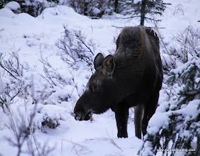 Photo: Young moose in the hills above Homer