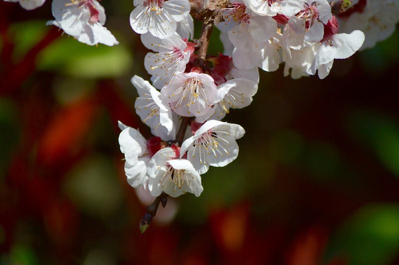Albicocco in fiore di Andrea Gerosa Photography
