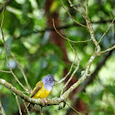 Grey headed Canary flycatcher