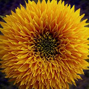 by Ghazala .S. Mujtaba - Flowers Single Flower (  )