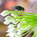 Green and Blue Bottlefly