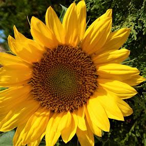 Sunflower by Maria Epperhart - Flowers Single Flower ( yard, nature, plants, sunflower, yellow, garden,  )