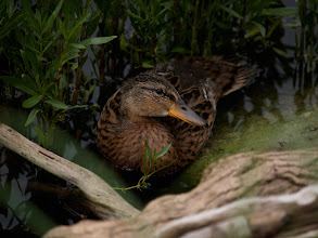 Photo: Duck in Cover