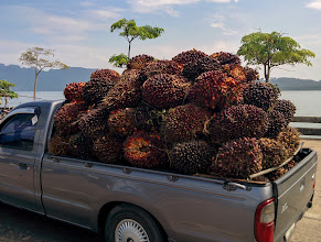 Photo: Bunches of palm oil kernels fill a truck on the ferry.