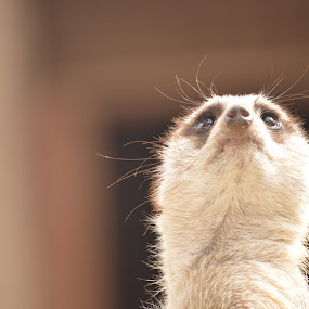 whisker by Aimee Osborne - Animals Other ( whiskers, sniffing, meerkat, baby, cute )