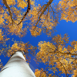 Aspens Reaching to the Sky by Charles Kuster - Nature Up Close Trees & Bushes ( sky, tree, colorado, aspens )