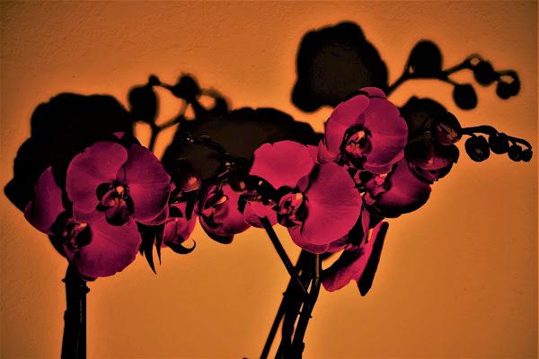 Orchidea di nestowolf