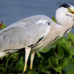 Grey heron by Vivek Naik - Animals Birds (  )