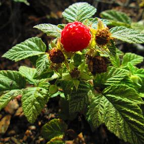 Wild Raspberry by Samantha Walls - Nature Up Close Gardens & Produce