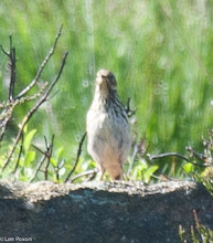 Photo: Meadow Pipit Bluewaters, Healey Nab 22.07.12