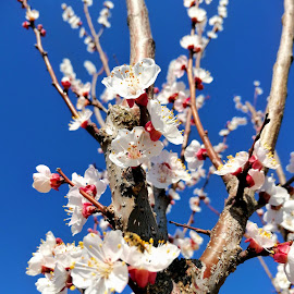 by Drazen Jezic - Flowers Tree Blossoms