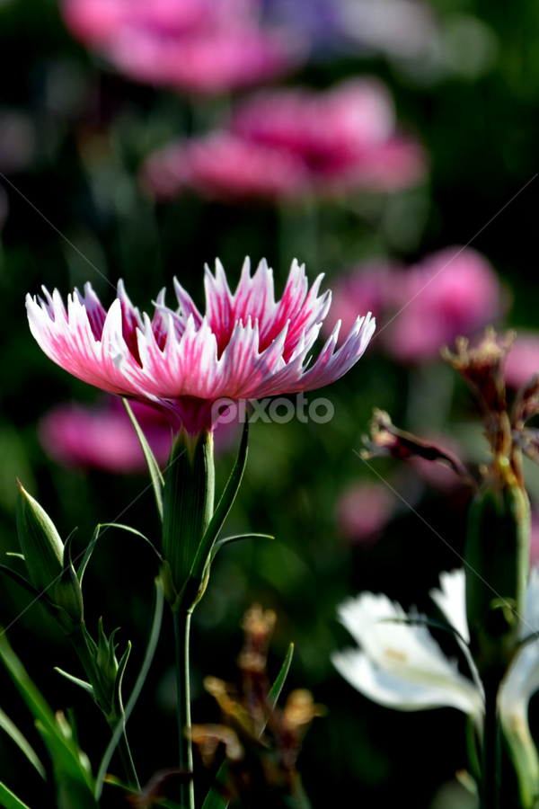 stunning pink... by प्रसाद जोशी - Nature Up Close Flowers - 2011-2013 ( pink & white, flowers, garden )