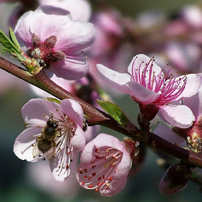 Bee and Blossom by Sarah Harding - Novices Only Flowers & Plants ( plant, nature, novices only, garden, flower,  )