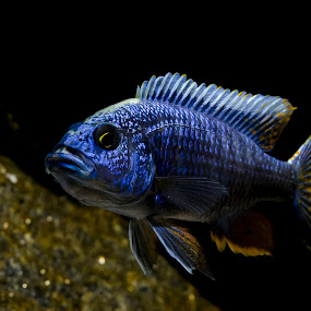 You looking at me? by Star Image - Animals Fish ( cichlid, blue, fish, swim, aquarium,  )