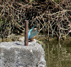 Photo: Day 215 - A Kingfisher