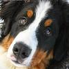 Bernese Dog Jigsaw Puzzles APK