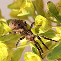 Mediterranean spiny false wolf spider