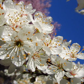 spring  by Ionela Garovat - Flowers Tree Blossoms ( water, tree blossoms, flowers, spring )