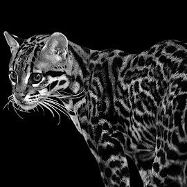 Ocelot II by Shawn Thomas - Black & White Animals