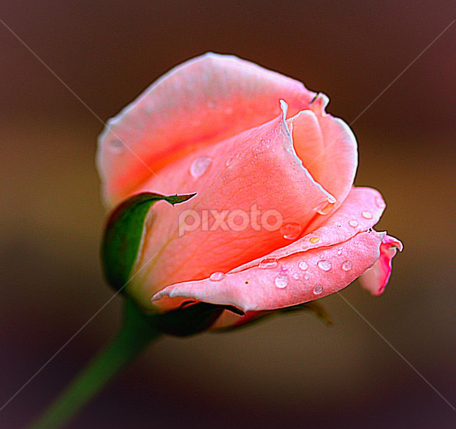 by Carmen Quesada - Flowers Single Flower ( rose, petals, color, lovely, pink, waterdrops, natural, flower,  )