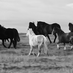 HORSES RUNNING IN B&W by Laura Cummings - Uncategorized All Uncategorized ( horses running b&w,  )