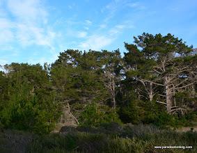Photo: Monterey pine habitat at Pt. Lobos.