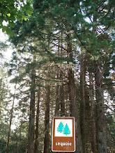 Photo: Forêt de Sequoias à Vallicciola
