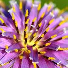 Purple salsify; Barba de cabra