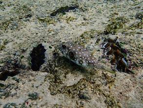 Photo: Arothron hispidus (Juvenile Stars and Stripes Puffer), Miniloc Island Resort Reef, Palawan, Philippines.