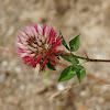 Trifolium setiferum