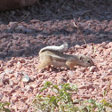 White-tailed Antelope Ground-Squirrel