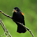 Red-winged blackbird with prey