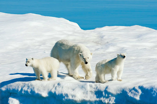 A mother polar bear and her two cubs are spotted on pack ice in Svalbard, Norway, during a Lindblad Expeditions visit.