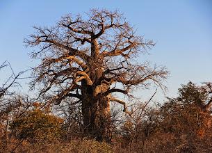 Photo: Een oude Baobab