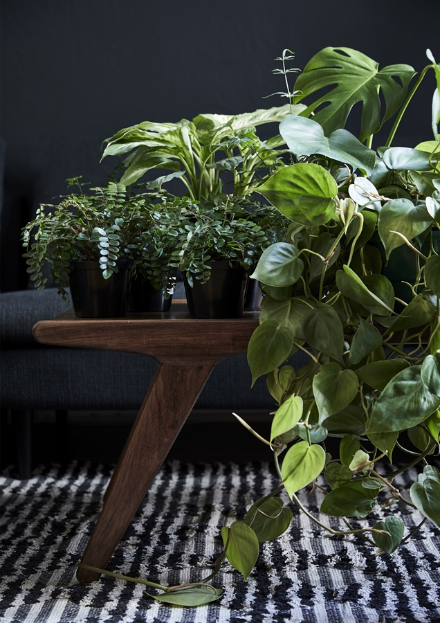 Indoor plants will benefit from a monthly boost of indoor plant food.