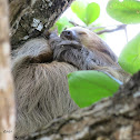 Perezoso / Sloth