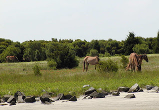 Photo: Feral horses on barrier island - just across Taylor's Creek - photo by Jimmy Piver