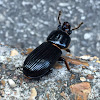 Patent Leather beetle