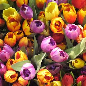Tulips by Viive Selg - Flowers Flower Arangements (  )