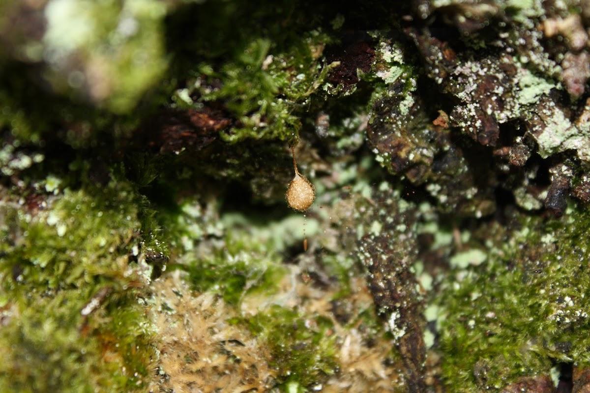 Spider Eggsack