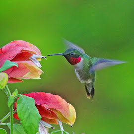 Male Ruby -throat Hummingbird by Anthony Goldman - Animals Birds ( tampa, color, nature, florida, bird, hummingbird, shrimp plant, animals, ruby -throat, wild, male,  )