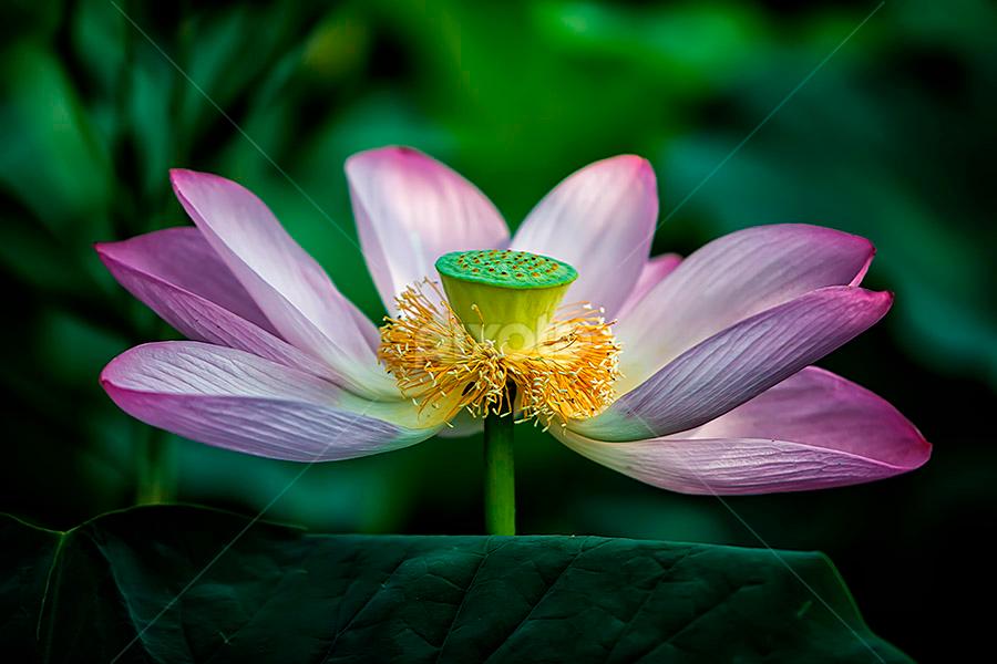 Lonely Lotus by Nyoman Sundra - Nature Up Close Flowers - 2011-2013 ( lotus, mizumoto, park, tokyo, pink )