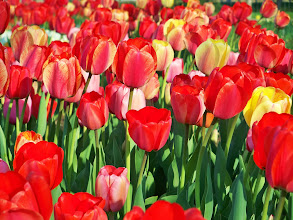 Photo: Bright red tulips in Cox Arboretum in Dayton, Ohio.