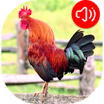 Rooster Ringtones